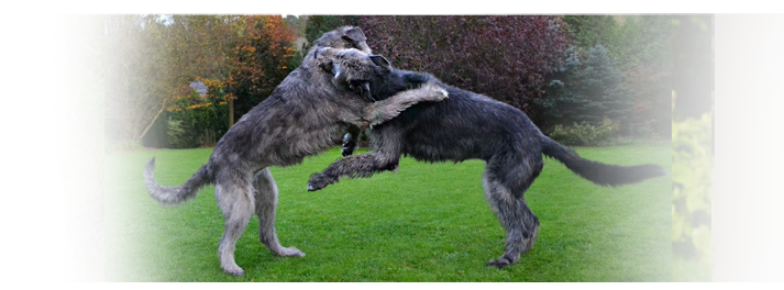 Irish wolfhound - news